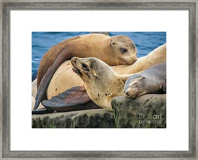 Seal Colony Framed Print by Darleen Stry
