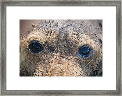 Seal Eyes Framed Print by Leland D Howard