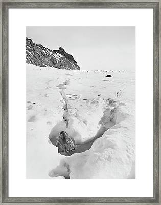 Seal In Antarctic Waters Framed Print by Scott Polar Research Institute