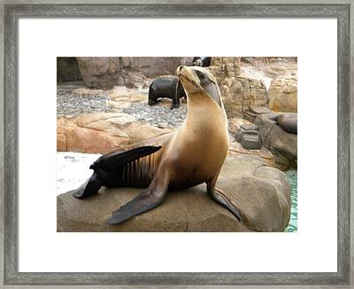 Framed Print featuring the photograph Seal In The Spotlight by Amanda Eberly-Kudamik