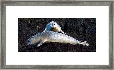 Seal Massage 5662 Framed Print by Brent L Ander