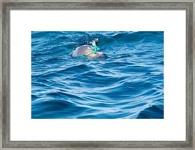 Seal Pup In Distress Framed Print