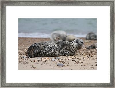 Seal Pup On Beach Framed Print by Gordon Auld