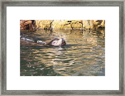Sealion Coming Up For Air Framed Print by John Telfer