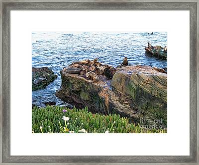 Seals And Pups Framed Print by Bedros Awak