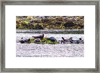 Seals Resting Framed Print by Robert Bales
