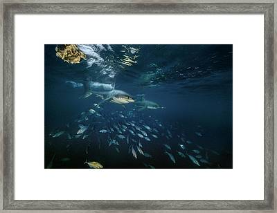 Searching For Seals, Two Great White Framed Print