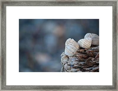 Seashells On Driftwood  Framed Print by Brian Boudreau