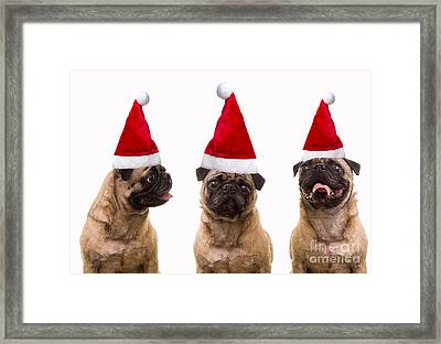 Seasons Greetings Christmas Caroling Pug Dogs Wearing Santa Claus Hats Framed Print by Edward Fielding