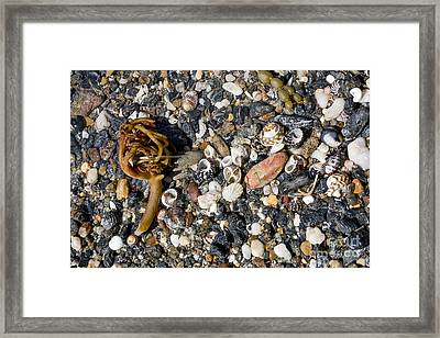 Seaweed And Shells Framed Print by Steven Ralser