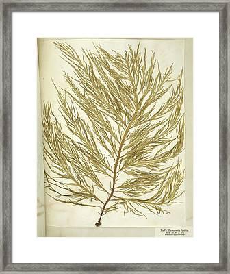 Seaweed (desmarestia Ligulata) Framed Print by Science Photo Library
