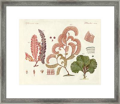 Seaweed Different Kinds Framed Print