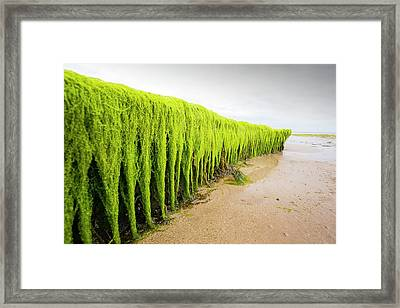 Seaweed Draped Over A Rock Framed Print