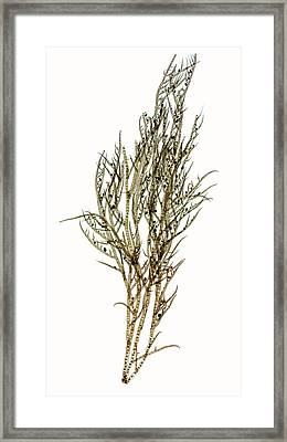 Seaweed (ectocarpus Confervoides) Framed Print by Dr Keith Wheeler