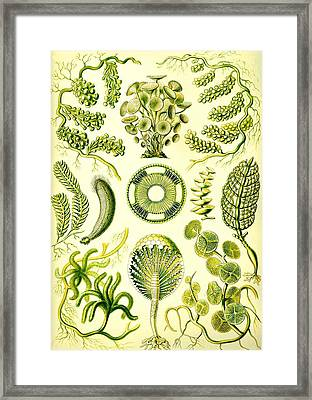 Seaweed Green Algae Chlorophyceae Caulerpa Siphonal Framed Print by Movie Poster Prints