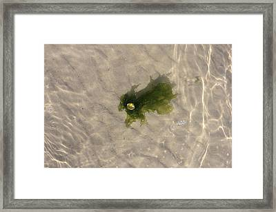 Seaweed In The Wadden Sea Framed Print by Ronald Jansen