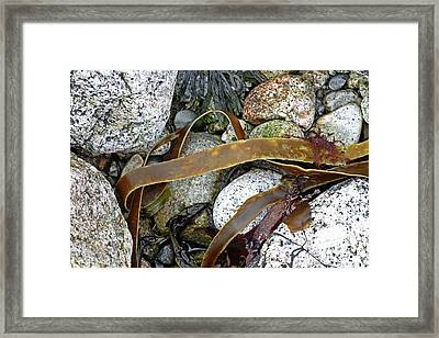 Seaweed Framed Print by Michael Clutson/science Photo Library