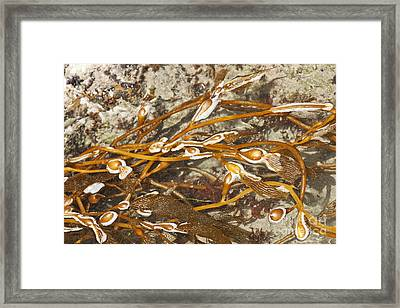 Seaweed Swirls Framed Print by Artist and Photographer Laura Wrede