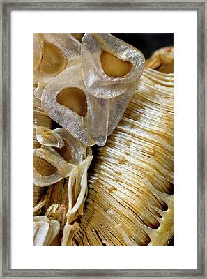 Seed Capsule Of Cardiocrinum Giganteum Framed Print by Dr Jeremy Burgess