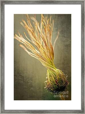 Seed Head Of Dryas Octopetala Framed Print