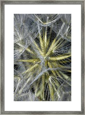 Seed Head Of Tragopogon Pratensis Framed Print by Dr Jeremy Burgess