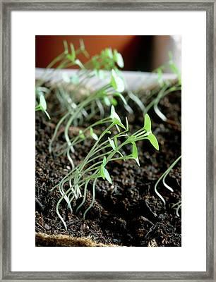 Seedlings Framed Print by Graham Jordan/science Photo Library
