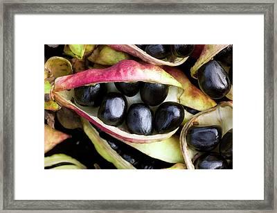 Seeds Of Paeonia Ludlowii Framed Print