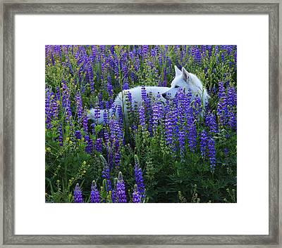 Framed Print featuring the photograph Sekani In Lupine by Sean Sarsfield