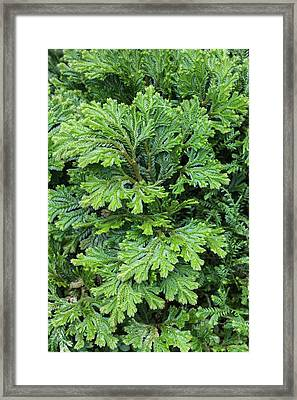 Selaginella Martinsii Framed Print by Geoff Kidd