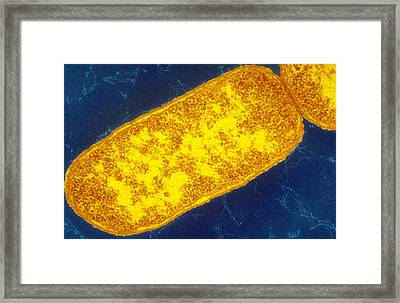 Sem Image Of Escherichia Coli Framed Print by Biology Pics