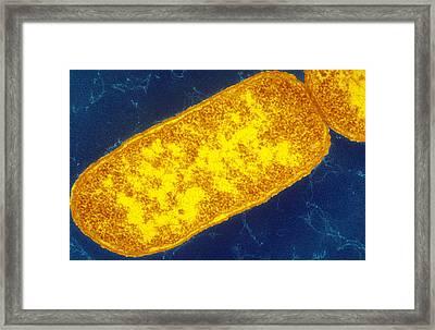 Sem Image Of Escherichia Coli Framed Print by Biology Pics