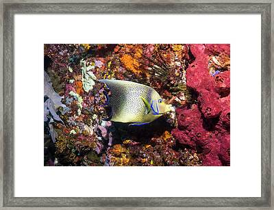 Semicircle Angelfish On A Reef Framed Print
