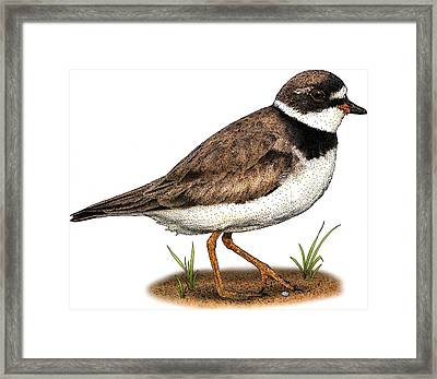 Semipalmated Plover Framed Print by Roger Hall
