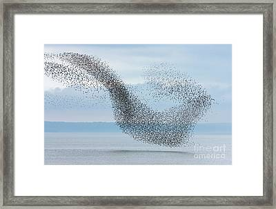 Semipalmated Sandpipers Flying Over Bay Framed Print