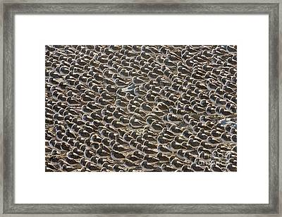 Semipalmated Sandpipers Sleeping Framed Print