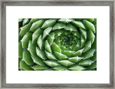 Sempervivum Heuffelii 'brocade' Abstract Framed Print