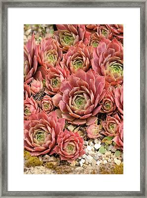 Sempervivum 'kramer's Spinrad' Framed Print