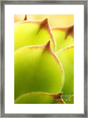 Sempervivum Macro Framed Print by Mythja  Photography