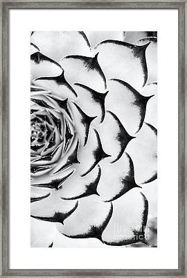 Sempervivum Pattern Monochrome Framed Print