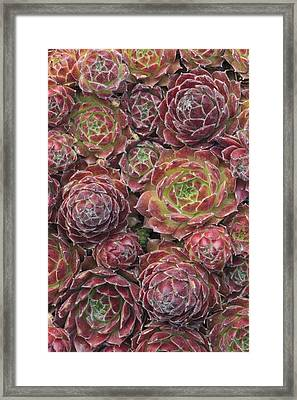Sempervivum 'rosie' Framed Print by Science Photo Library