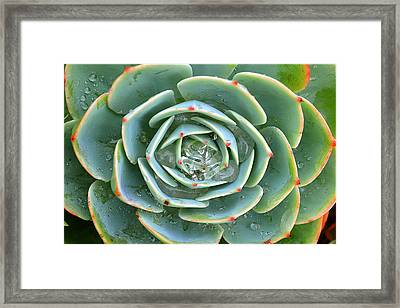 Sempervivum Tectorum Framed Print