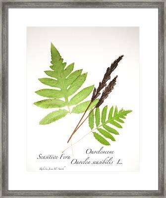 Sensitive Fern  Framed Print