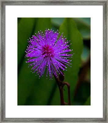 Sensitive Plant Framed Print