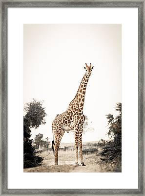 Framed Print featuring the photograph Sentinal Giraffe by Mike Gaudaur
