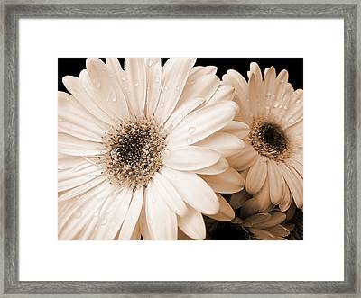 Sepia Gerber Daisy Flowers Framed Print
