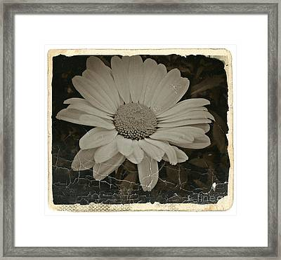 Sepia Vintage Daisy 1 Framed Print by Chalet Roome-Rigdon