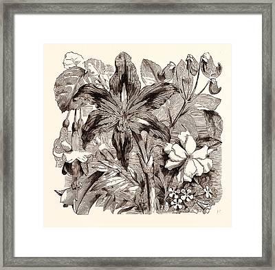 September. Fuschia Duchess Of Lancaster Framed Print by English School