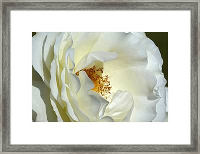 Framed Print featuring the photograph September Mourn Rose by Cindy McDaniel