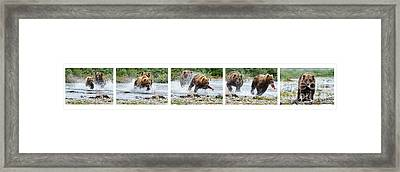 Sequence Of Large Brown Stealing Salmon From Smaller Brown Bear Framed Print by Dan Friend