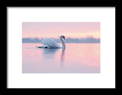 Swan Framed Prints